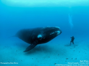 right-whale-brian-skerry
