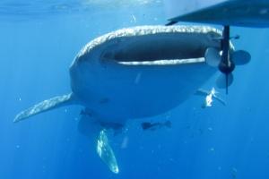 whale shark ahe papua