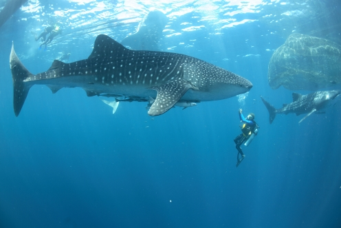 Whale shark, Ahe divers, Harlem Islands, Papua