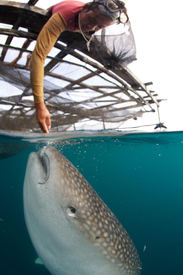 Handfeeding whale sharks